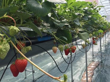 いちご園Strawberry FarmNo.15の「いちご狩り」
