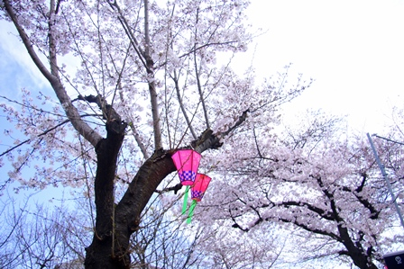 緑第一公園での桜まつり