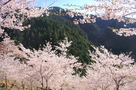 吉野山奥千本の桜