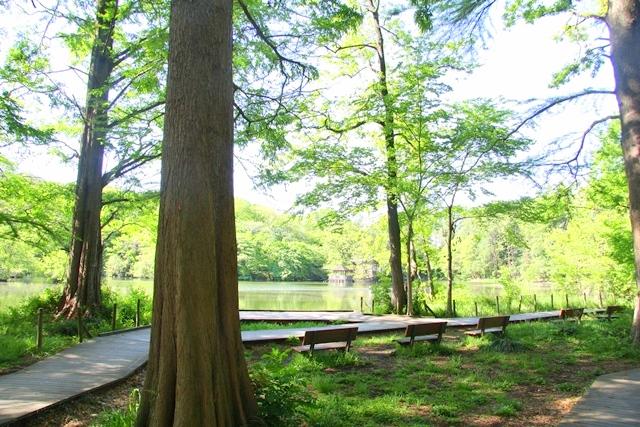 石神井公園、ねりまの名木「メタセコイア」