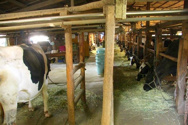 小泉牧場の牛小屋