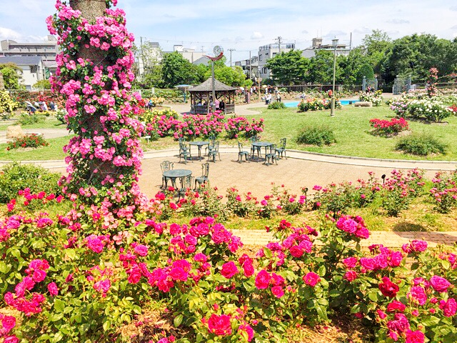 茨木市の若園公園で咲き誇るバラ