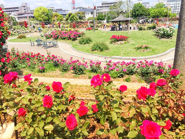 バラが咲き誇る、若園公園バラ園の様子