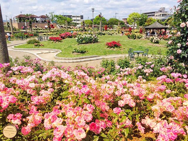 春と秋にバラが咲き誇る、茨木市の若園公園