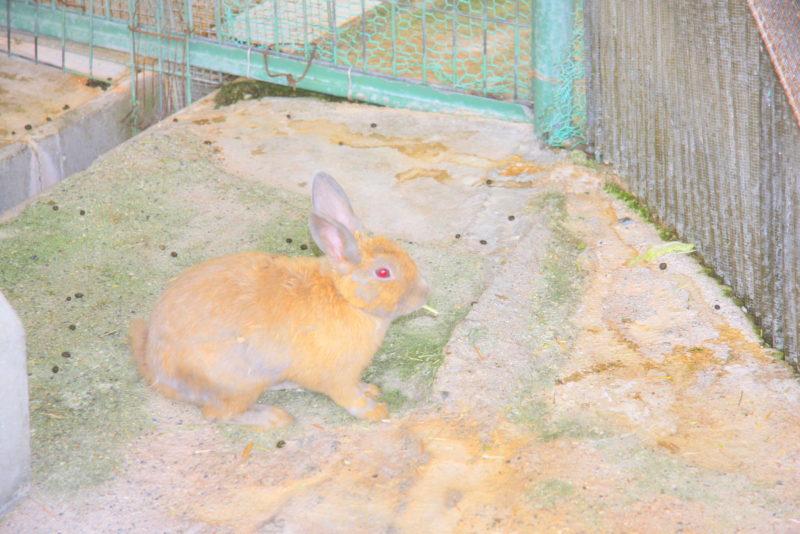 子ども動物園のウサギ