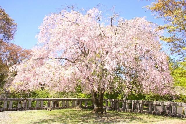 吉野神宮の紅しだれ桜
