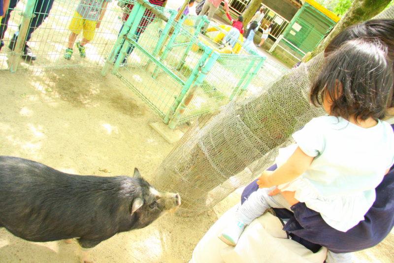 福知山動物園のブタ