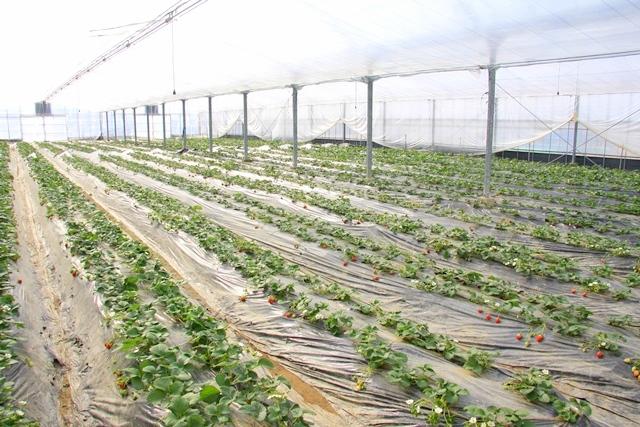 サバーファームのイチゴ畑