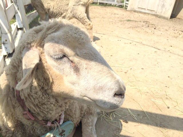 モクモクファーム動物ふれあい羊
