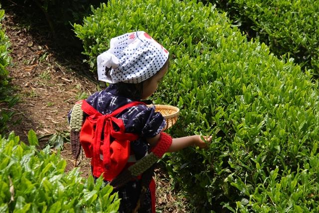 茶摘み体験、プロフィール