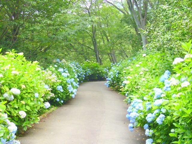 生駒山ぬかた園地のアジサイ