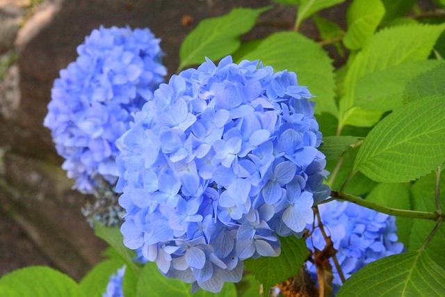 花の谷、花博記念公園鶴見緑地アジサイ園