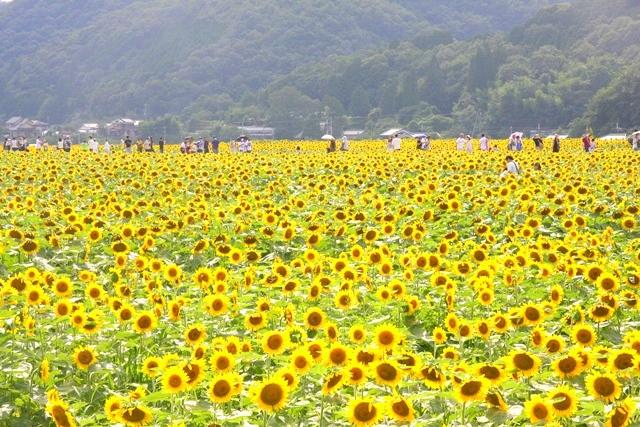 佐用町ひまわり畑のメインスポット南光スポーツ公園周辺観光情報
